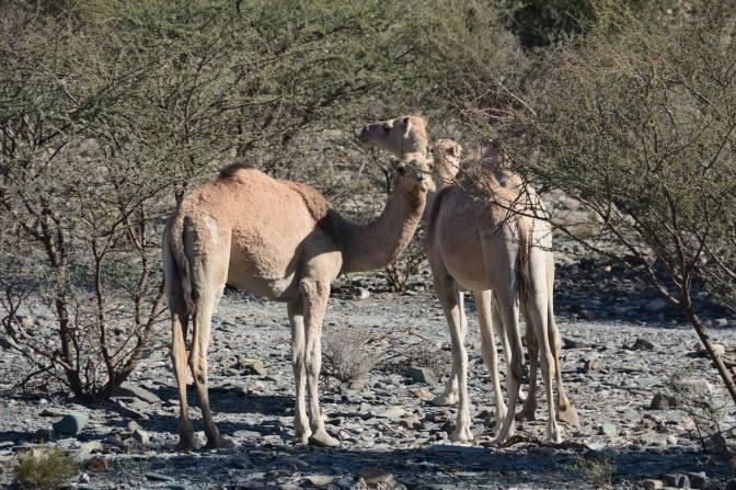 kamelen1
